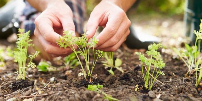hands planting a garden